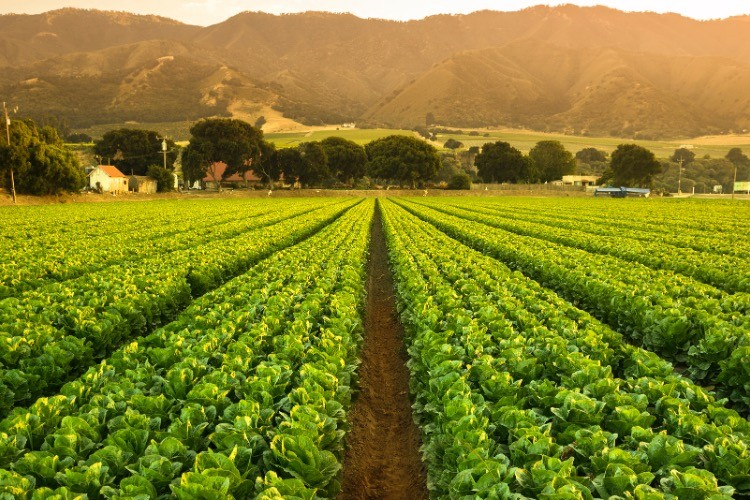 Edible Vaccines: CA Scientists Developing mRNA-vaccine Producing Plants